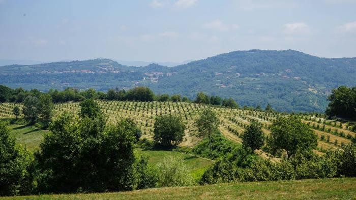 M153M2 Hazelnuts in Langhe, Piedmont - Italy