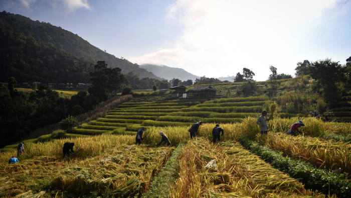 This photo taken on November 7, 2019 shows farmers harvesting rice in the village of Mae Rim in the northern Thai province of Chiang Mai. - Battling drought, debt and ailments blamed on pesticides, rice farmers in northern Thailand have turned to eco-friendly growing methods despite powerful agribusiness interests in a country that is one of the top exporters of the grain in the world. (Photo by Lillian SUWANRUMPHA / AFP) / TO GO WITH Thailand-agriculture-environment-economy-rice,FOCUS by Sophie DEVILLER and Anusak KONGLANG (Photo by LILLIAN SUWANRUMPHA/AFP via Getty Images)