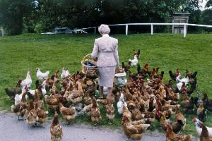 the Duchess of Devonshire feeds the chickens at Chatsworth