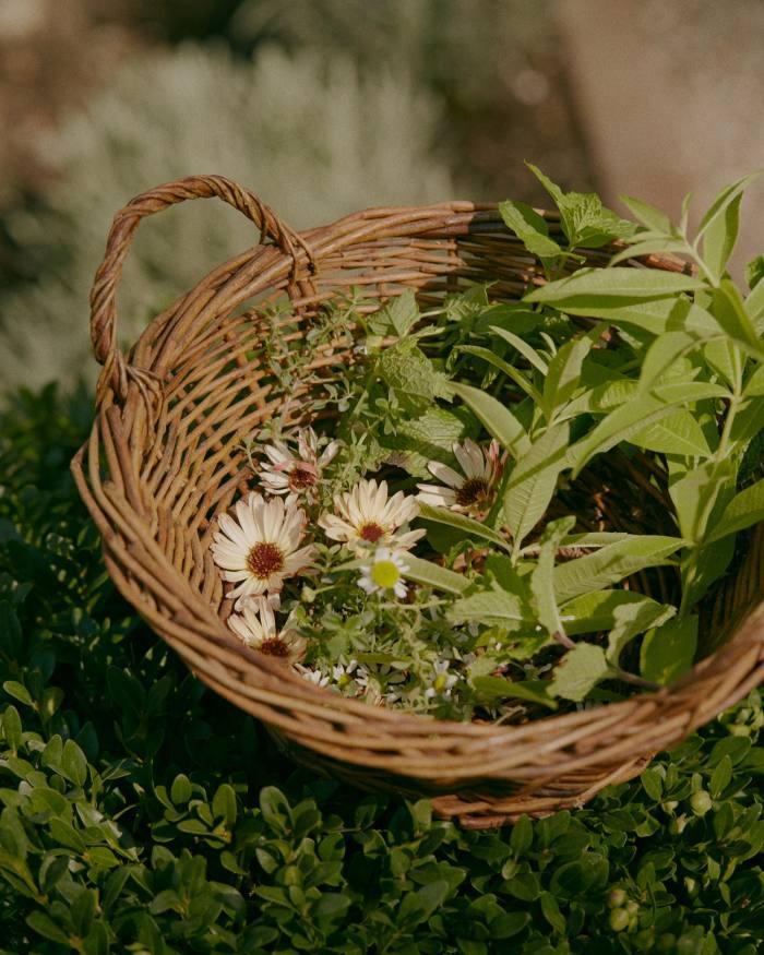 Freshly picked herbs, including calendula flowers, lemon verbena with chamomile flowers, lemon thyme, mint and lemon balm