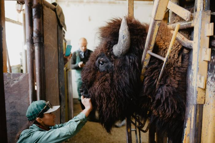 Madi Phillips gives a bison a health check-up during bison works