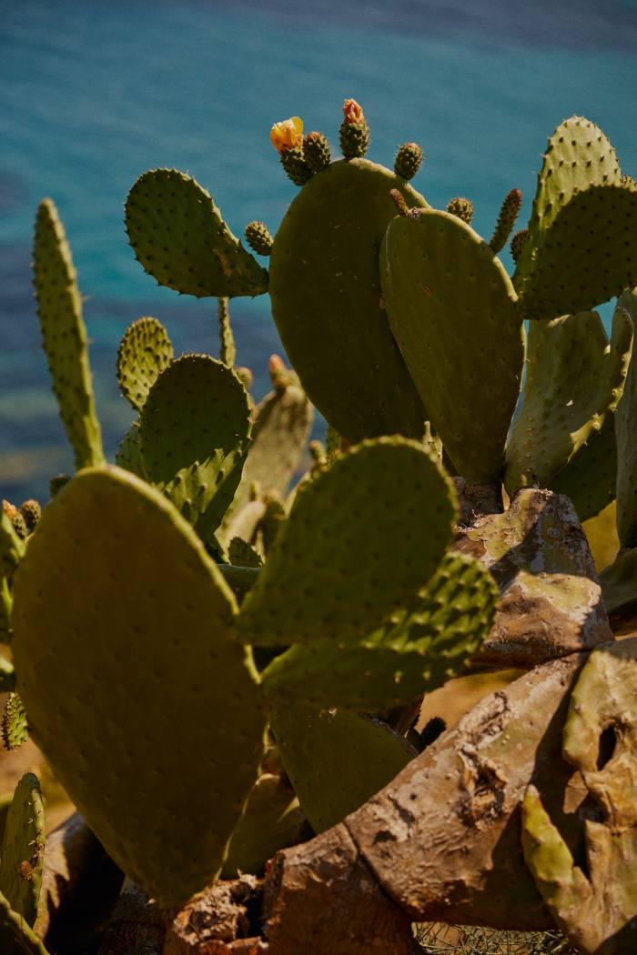 Barbary figs, a common local cactus, near Cala Mesquida