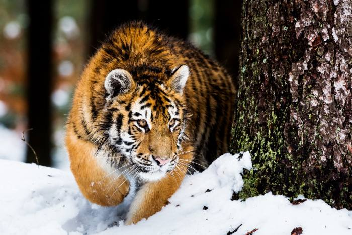 A Siberian tiger in the wild