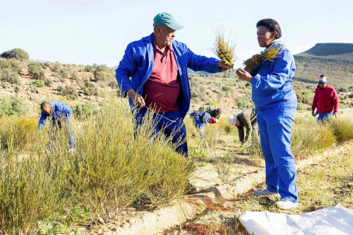 Workers on the co-operative harvest the rooibos. . .