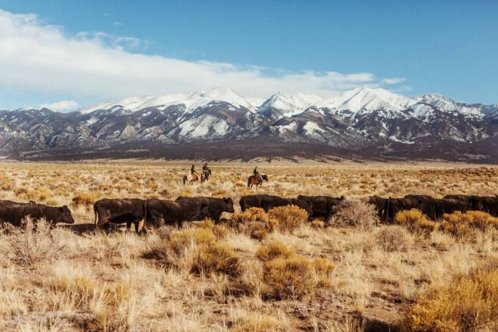 The Zapata Ranch crew move cattle to a new pasture