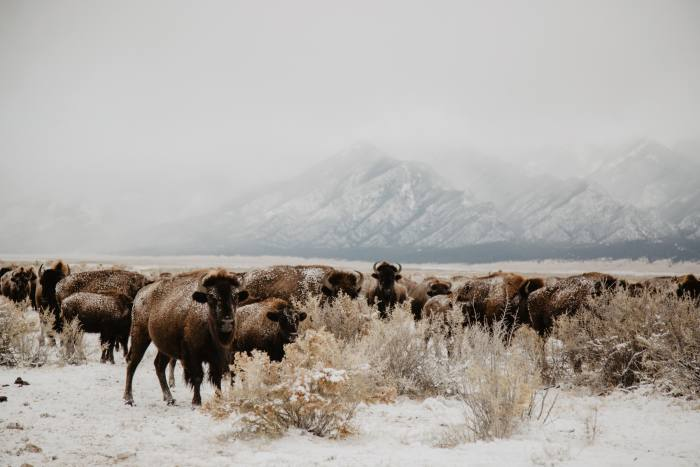 The conservation bison herd at the Zapata Ranch in winter
