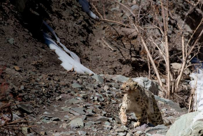 Snow leopards can take down urial,Asiatic ibex, bharal andeven wild yak